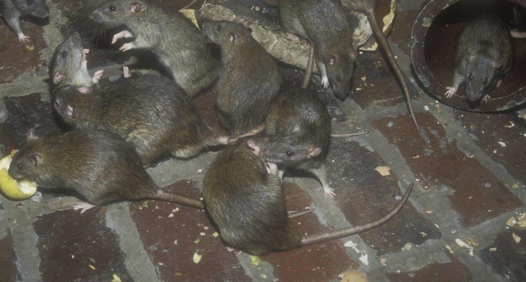 уничтожение крыс в Нягани