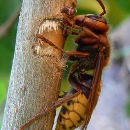 Уничтожение шершней в Нягани